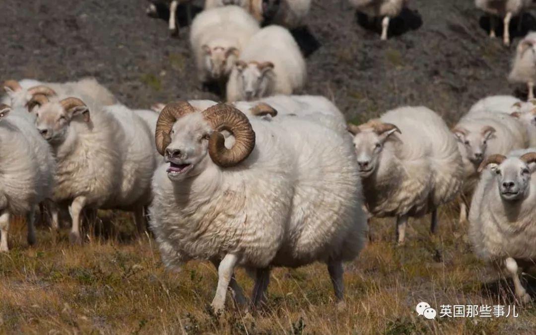 冰岛人居然给公羊做了20年的相亲指南,每年这竞争,你们感受一下...