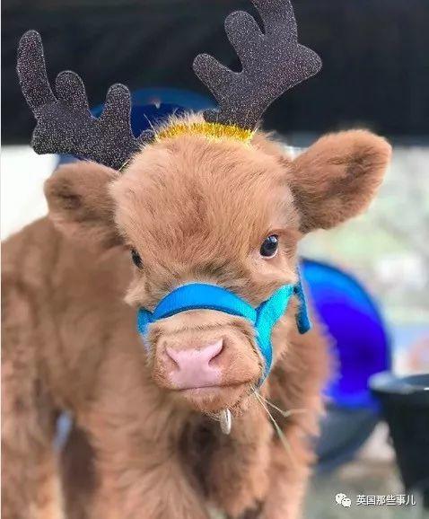 美国夫妻在农场上养了一大群小牛…画风怎么可以这么可爱!