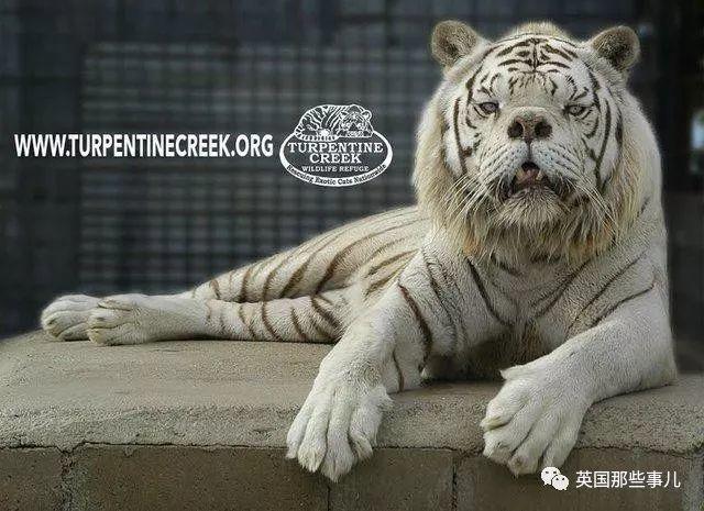 世界最丑白虎的故事终于曝光,满是残酷无奈的血泪现实……