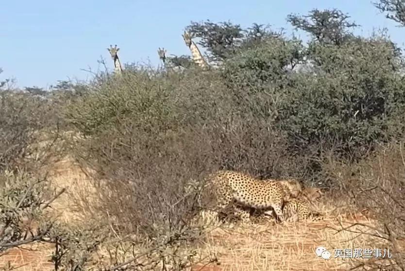 三只猎豹大庭广众上演激情一幕……隔壁长颈鹿全都看呆了!