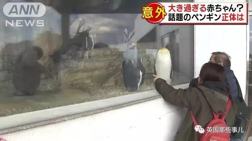 企鹅宝宝成了巨大行走的猕猴桃精?饲养员表示,人家一点都不胖