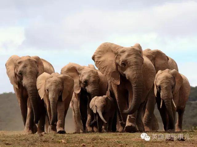 人类,逼着非洲象种群改变自己...越来越多的非洲母象已经不长牙了
