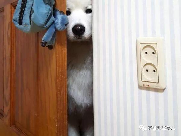 要狗看门?千万别选萨摩耶!这货除了笑不会干别的了!