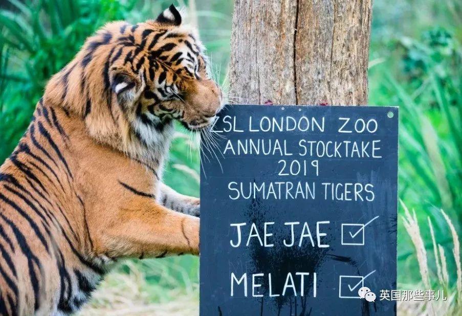 伦敦动物园给自家老虎安排了场相亲,没想到第一次约会母虎就挂了...