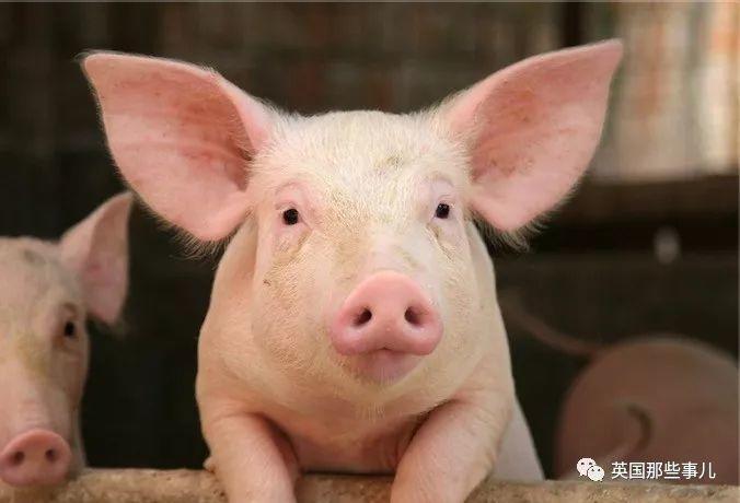 人类养了9000年的猪!猪猪们有多厉害你还不知道吗?!