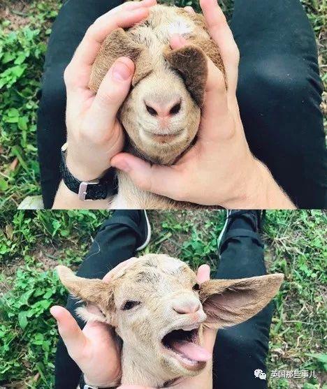 澳洲妹子在农场上养了一大群咩咩…画风怎么可以如此美好!