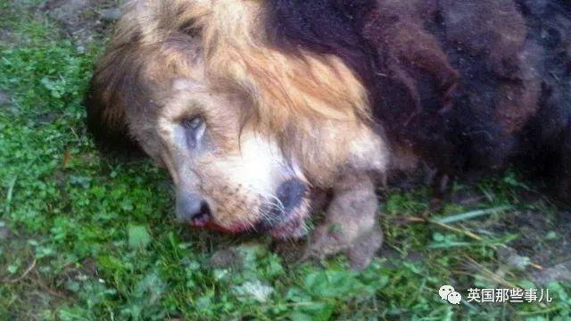 自杀前,他放出了自家农场里的56只老虎狮子和熊...