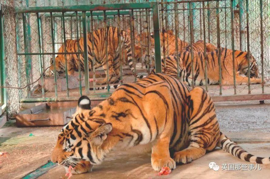 在这里,老虎如同肉猪一样被圈养、屠杀,分成零件贩卖…