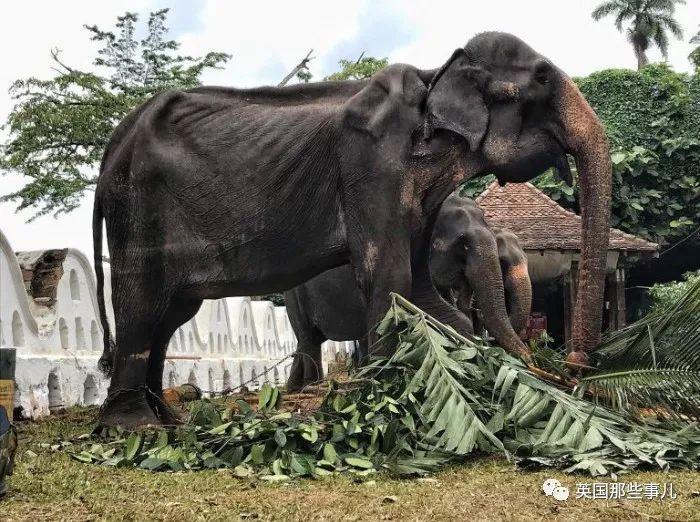 70岁的大象,居然能被饿成皮包骨!就这,还要披上华服去演??