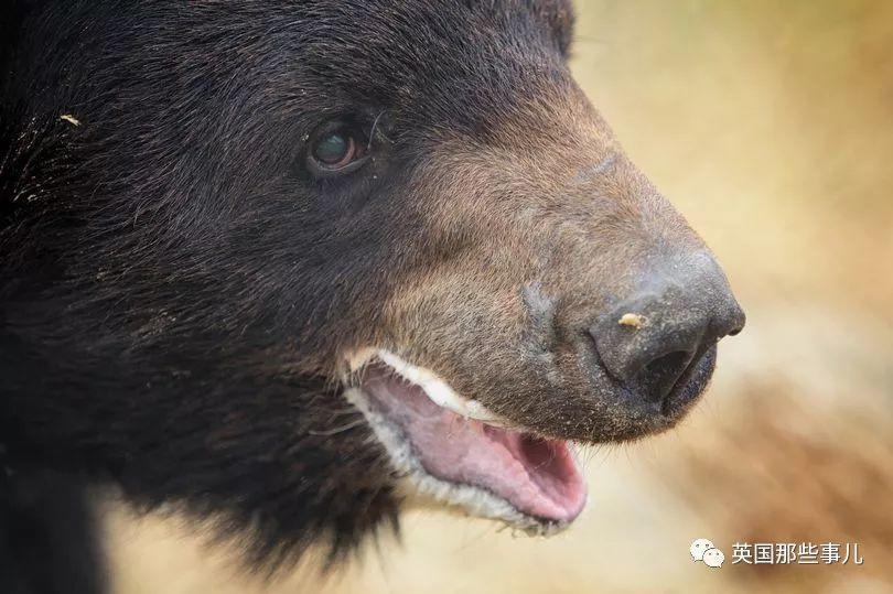 黑熊的牙齿被拔掉,爪子被磨平,被恶犬撕咬…只为了供人类取乐?