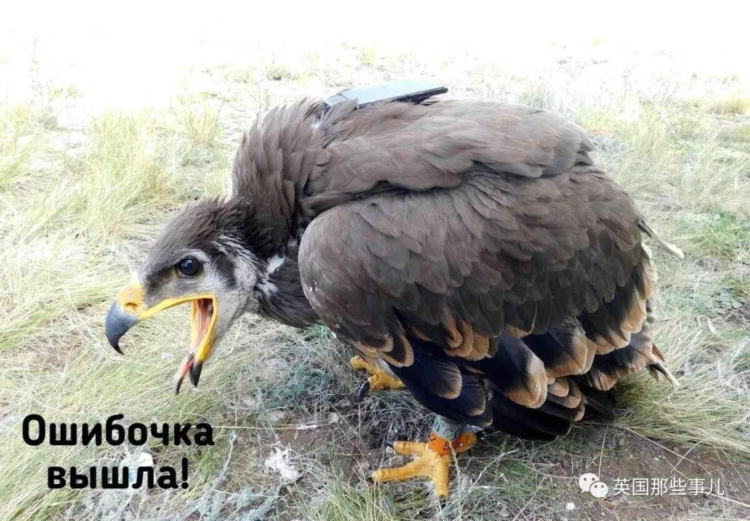 科学家发起众筹,要给一只远在伊朗的俄罗斯草原鹰充话费!这也行?哈哈