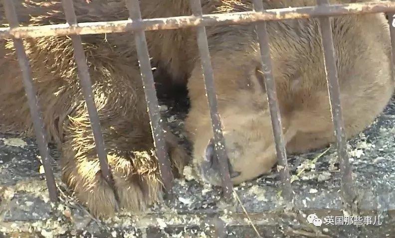 北极熊与棕熊的混血宝宝,被人类残忍对待半生,如今终于解脱了!