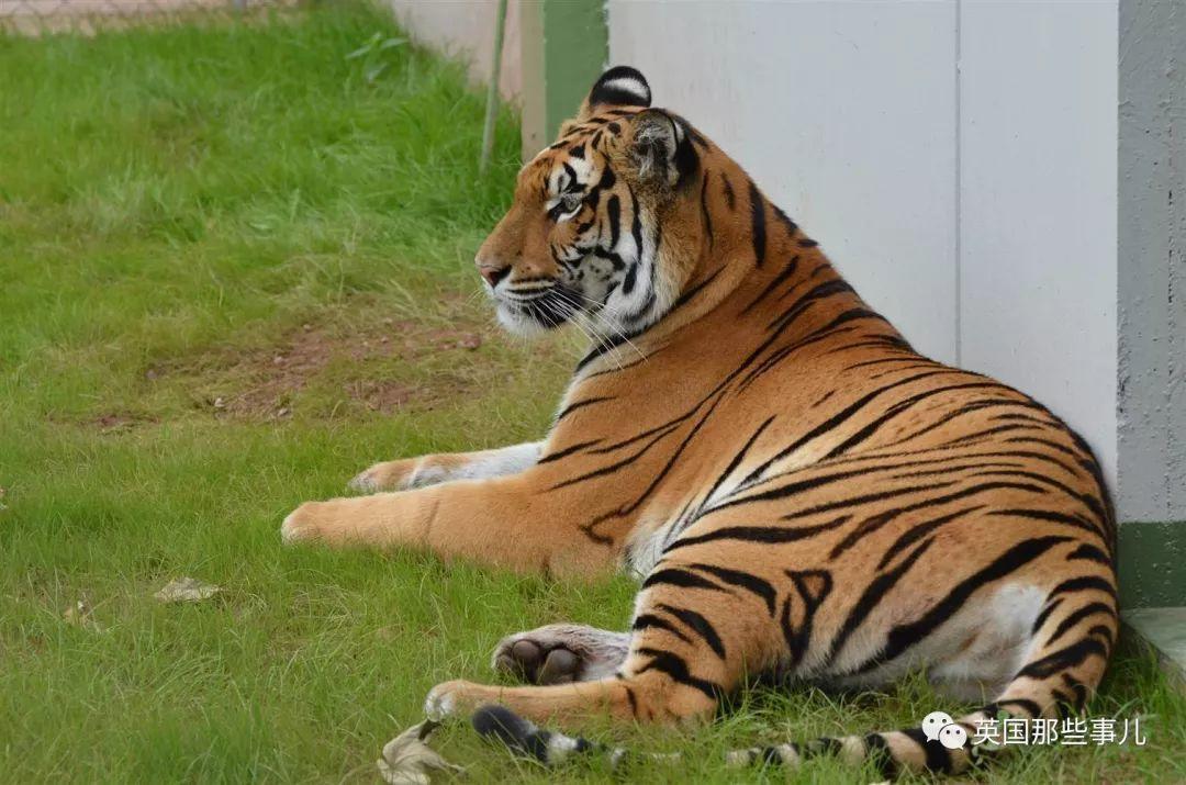 老虎把牙齿咬坏,兽医给它镶了一颗金牙…是村里最靓的崽了!