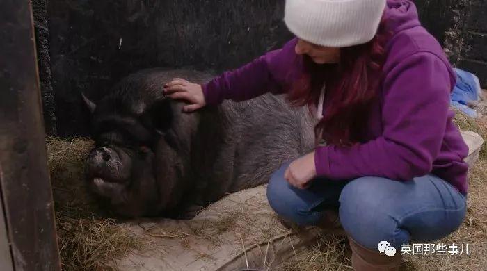 200公斤的小胖猪被送去强制减肥,5周就甩掉了10公斤!