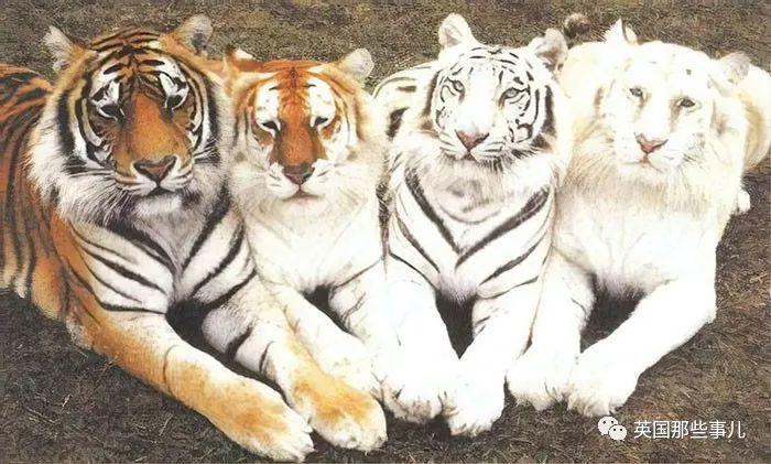 别洗老虎,它会褪色的!网友脑洞动物冷知识,真的又冷又蠢萌
