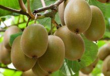 Zespri的SunGold品种被非法带到中国,并分发给其他种植者。