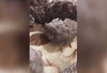 惠灵顿一名妇女在Countdown买了一包肉丸,发现里面有蠕虫。
