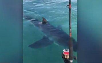一群人在陶朗加港钓鱼,近距离地遇到了一只好奇的大白鲨。