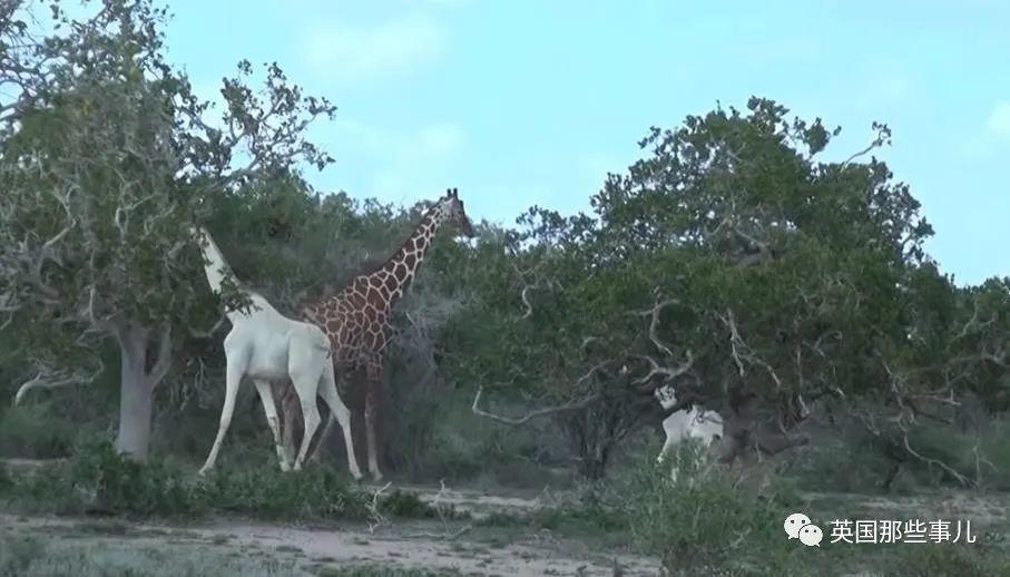 太残忍!纯白长颈鹿母子惨遭偷猎者杀害... 世界上可能只剩一只!