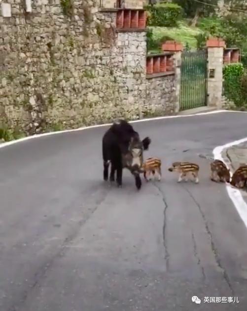 鸵鸟路上狂奔,野猪带娃遛弯…人类被锁在家,动物们进城观光了!