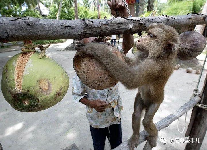 泰国人训练猴子上树采摘椰子,英国超市:这是奴役猴子!抵制!