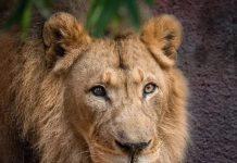 狮子夫妇忠贞相伴12年到老,如今在同一天被安乐死……